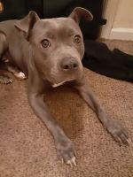 American Pit Bull Terrier Puppies for sale in Stone Mountain, GA, USA. price: NA
