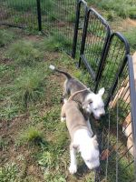 American Pit Bull Terrier Puppies for sale in Spartanburg, SC, USA. price: NA