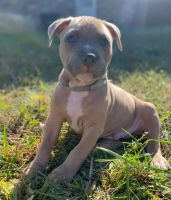 American Pit Bull Terrier Puppies for sale in Rossville, GA 30741, USA. price: NA