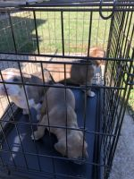 American Pit Bull Terrier Puppies for sale in Tuscaloosa, AL, USA. price: NA