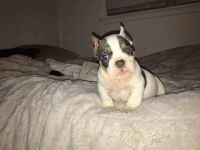 American Pit Bull Terrier Puppies for sale in Roanoke, VA, USA. price: NA