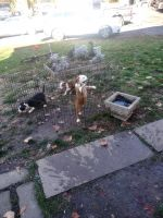 American Pit Bull Terrier Puppies for sale in Indianapolis, IN, USA. price: NA