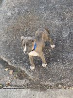 American Pit Bull Terrier Puppies for sale in Houston, TX, USA. price: NA