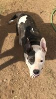 American Pit Bull Terrier Puppies for sale in Phoenix, AZ, USA. price: NA