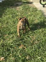 American Pit Bull Terrier Puppies for sale in Detroit, MI, USA. price: NA