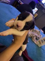 American Pit Bull Terrier Puppies for sale in Corpus Christi, TX, USA. price: NA