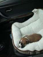American Pit Bull Terrier Puppies for sale in Brooklyn, NY, USA. price: NA