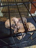 American Pit Bull Terrier Puppies for sale in Atlanta, GA 30318, USA. price: NA