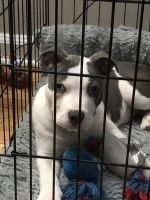 American Pit Bull Terrier Puppies for sale in Union, NJ, USA. price: NA