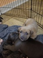 American Pit Bull Terrier Puppies for sale in Muskegon, MI, USA. price: NA