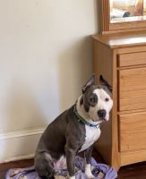 American Pit Bull Terrier Puppies for sale in Waterbury, CT, USA. price: NA