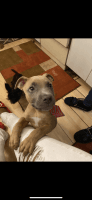American Pit Bull Terrier Puppies for sale in Rockford, IL, USA. price: NA