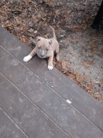 American Pit Bull Terrier Puppies Photos
