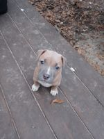 American Pit Bull Terrier Puppies for sale in Gainesville, FL, USA. price: NA