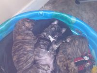American Pit Bull Terrier Puppies for sale in Hartselle, AL 35640, USA. price: NA