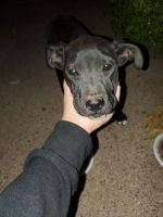 American Pit Bull Terrier Puppies for sale in Phoenix, AZ 85031, USA. price: NA