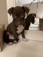 American Pit Bull Terrier Puppies for sale in Monroe, NY 10950, USA. price: NA