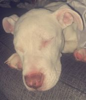American Pit Bull Terrier Puppies for sale in Omaha, NE 68144, USA. price: NA