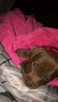 American Pit Bull Terrier Puppies for sale in Snow Hill, MD 21863, USA. price: NA