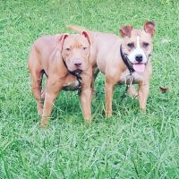 American Pit Bull Terrier Puppies for sale in Newport News, VA, USA. price: NA