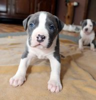 American Pit Bull Terrier Puppies for sale in Upland, CA, USA. price: NA