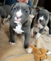 American Pit Bull Terrier Puppies for sale in Los Angeles, CA, USA. price: NA