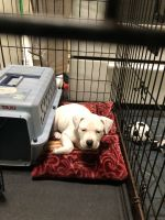 American Pit Bull Terrier Puppies for sale in Minneapolis, MN 55407, USA. price: NA