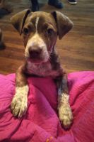 American Pit Bull Terrier Puppies for sale in Memphis, TN, USA. price: NA
