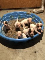 American Pit Bull Terrier Puppies for sale in Fairfield, AL 35064, USA. price: NA