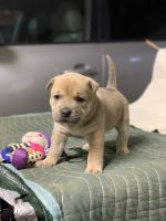 American Pit Bull Terrier Puppies for sale in East Sparta, OH, USA. price: NA