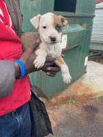 American Pit Bull Terrier Puppies for sale in Baltimore County, MD, USA. price: NA