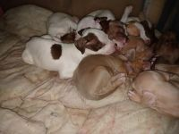 American Pit Bull Terrier Puppies for sale in 4300 S Bryant Ave, Oklahoma City, OK 73115, USA. price: NA