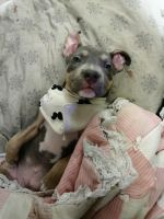 American Pit Bull Terrier Puppies for sale in Boise, ID 83713, USA. price: NA