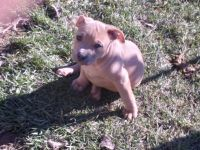 American Pit Bull Terrier Puppies for sale in Ridgeley, WV 26753, USA. price: NA