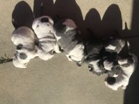 American Pit Bull Terrier Puppies for sale in San Diego, CA, USA. price: NA