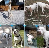 American Pit Bull Terrier Puppies for sale in St Paul, MN, USA. price: NA