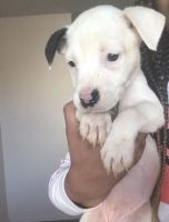 American Pit Bull Terrier Puppies for sale in Oklahoma City, OK, USA. price: NA