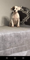 American Pit Bull Terrier Puppies for sale in McDonough, GA, USA. price: NA