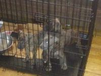American Pit Bull Terrier Puppies for sale in Killian Rd, Columbia, SC, USA. price: NA