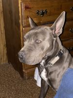 American Pit Bull Terrier Puppies for sale in Belen, NM 87002, USA. price: NA