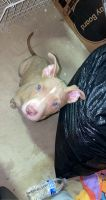 American Pit Bull Terrier Puppies for sale in Farmington Hills, MI 48331, USA. price: NA