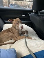 American Pit Bull Terrier Puppies for sale in East Orange, NJ, USA. price: NA