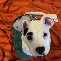 American Pit Bull Terrier Puppies for sale in Cleveland, OH, USA. price: NA