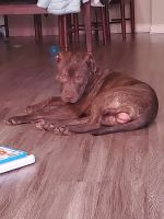American Pit Bull Terrier Puppies for sale in Clayton, NC 27520, USA. price: NA