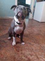 American Pit Bull Terrier Puppies for sale in Browns Summit, NC 27214, USA. price: NA
