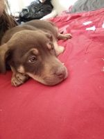American Pit Bull Terrier Puppies for sale in Tucumcari, NM 88401, USA. price: NA