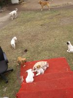 American Pit Bull Terrier Puppies for sale in Columbia, SC 29209, USA. price: NA