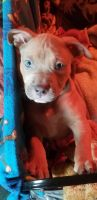 American Pit Bull Terrier Puppies for sale in Tonawanda, NY 14150, USA. price: NA