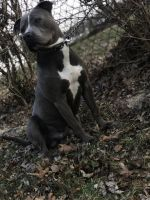 American Pit Bull Terrier Puppies for sale in Columbus, OH, USA. price: NA