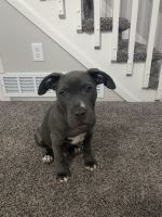 American Pit Bull Terrier Puppies for sale in Arvada, CO, USA. price: NA
